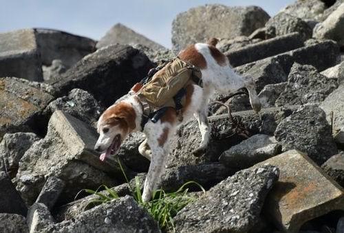 Anjing dari Jepang pakai teknologi canggih untuk misi penyelamatan bencana